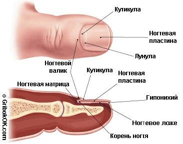 Схема лечения грибка ногтей на ногах и руках